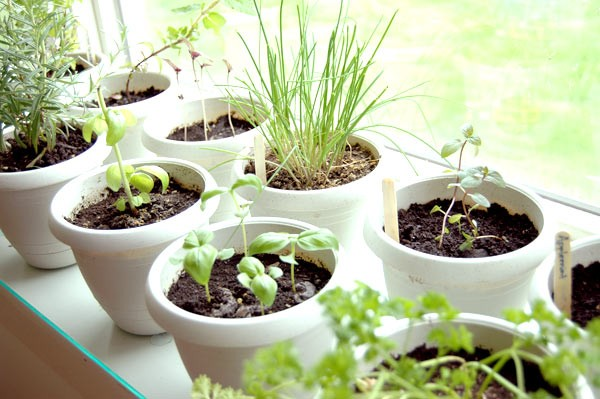 Photo of a window sill herb garden